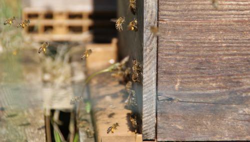 printemps abeilles