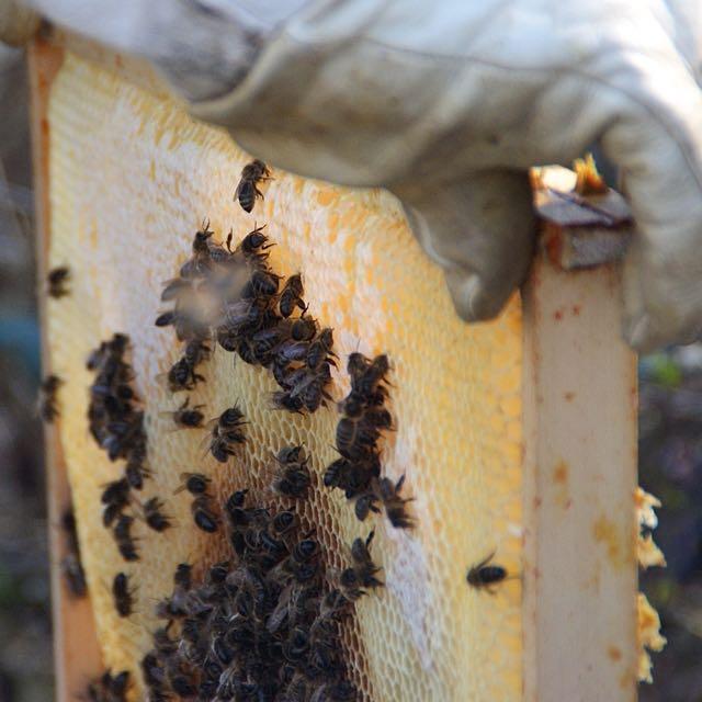 Production de miel 2015 au Rucher Val de Sarthe